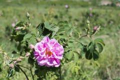 Plantation crops roses Stock Image