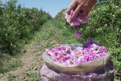 Plantation crops roses Royalty Free Stock Photography