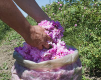 Plantation crops roses Stock Photo