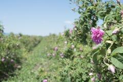 Plantation crops roses Stock Photos