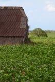 Plantation cubaine de tabac photographie stock libre de droits