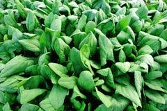 Plantation d'épinards Images stock