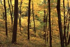 Plantation d'érable dans l'automne Images libres de droits