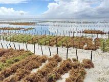 Plantation d'algue images stock