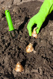 Plantation d'ampoule Image libre de droits