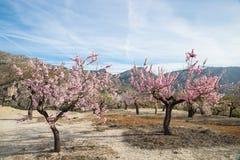 Plantation d'arbre d'amande Photos stock