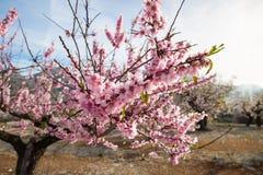 Plantation d'arbre d'amande Photos libres de droits