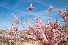 Plantation d'arbre d'amande Images libres de droits