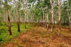 Plantation d'arbre de gomme Images stock