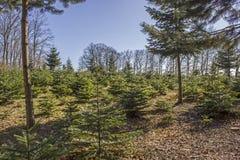 Plantation d'arbre de Noël Image libre de droits