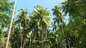 Plantation d'arbre de noix de coco banque de vidéos