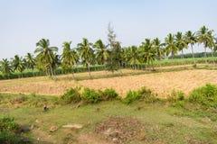 Plantation d'arbre de noix de coco plus près à la rizière regardant impressionnante le jour ensoleillé photographie stock libre de droits