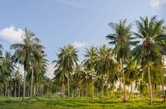 Plantation d'arbre de noix de coco Images stock