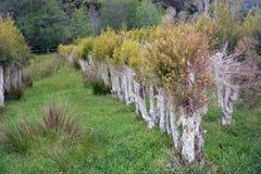 Plantation d'arbre de thé chez Karamea, Nouvelle-Zélande Photographie stock