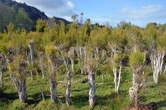 Plantation d'arbre de thé chez Karamea, Nouvelle-Zélande Photographie stock libre de droits