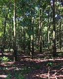 Plantation d'arbre en caoutchouc, Fazenda, sao Paulo Stare Brazil photographie stock