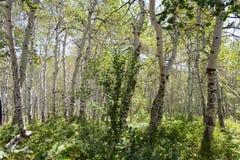 Plantation d'arbres de tremblement Aspen Images stock