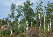 Plantation d'arbres de tremblement Aspen Photographie stock libre de droits