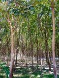 Plantation d'arbres en caoutchouc images stock