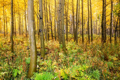 Plantation d'Aspen dans l'automne Photos libres de droits