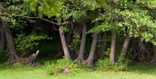 Plantation d'aulne noir Image libre de droits