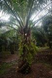 Plantation d'huile de palme Images libres de droits