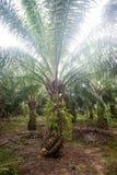 Plantation d'huile de palme Image libre de droits