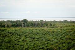 Plantation d'huile de palme Photographie stock