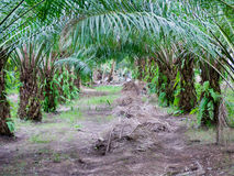 Plantation d'huile de palme Photo libre de droits
