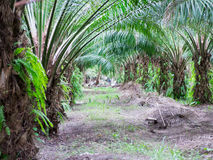 Plantation d'huile de palme Photos stock