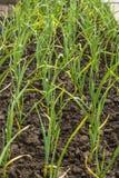 Plantation d'oignon vert Images stock