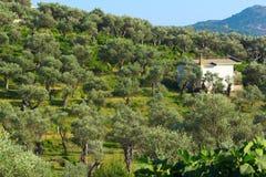 Plantation d'olivier Photographie stock