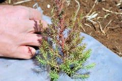 Plantation d'un arbre jeune Image libre de droits
