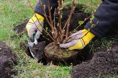 Plantation d'un arbuste Image libre de droits