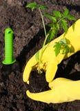 Plantation d'une jeune plante de tomate dans le sol Photos libres de droits
