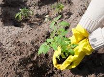 Plantation d'une jeune plante de tomate dans le sol Images libres de droits
