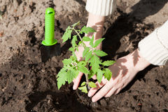 Plantation d'une jeune plante de tomate dans le sol Photo libre de droits
