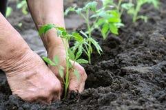 Plantation d'une plante de tomates Image libre de droits