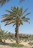 Plantation of data palms in desert region of Israel Royalty Free Stock Images