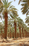 Plantation of date palm at kibbutz Ein Gedi, Israel Royalty Free Stock Photography