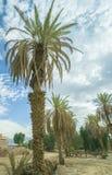 Plantation of date palms Royalty Free Stock Photo