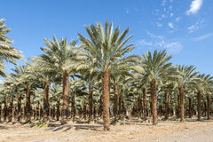 Plantation of date palms Royalty Free Stock Photos