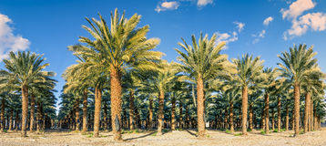 Plantation of date palms Stock Images