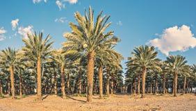 Plantation of date palms Stock Photography