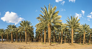 Plantation of date palms Royalty Free Stock Image
