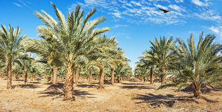 Plantation of date palms Royalty Free Stock Images