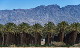 Plantation of date palms near Eilat Royalty Free Stock Photo