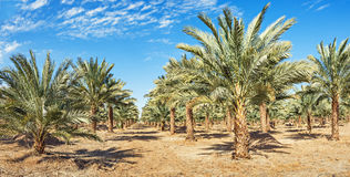 Plantation of date palms near Eilat Royalty Free Stock Images