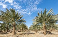 Plantation of date palms near Eilat Royalty Free Stock Photos