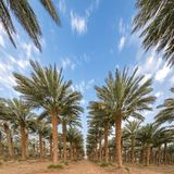 Plantation of date palms near Eilat. Tropical agriculture in the Middle East Royalty Free Stock Photo